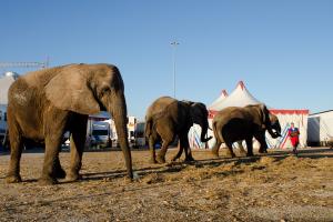 elefantes-cardinali-circo-natal
