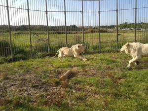 leoes-brancos-cardinali